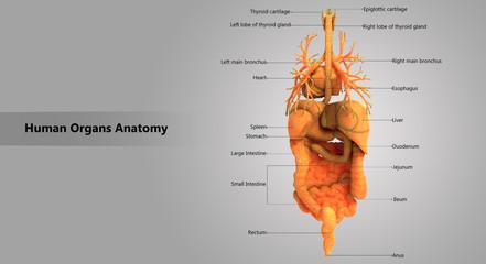 Human Body Organs Detailed Labels Anatomy