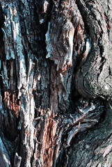 Old apple tree trunk with cracked bark, organic background texture