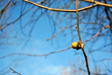 Empty apple tranches with single yellow rotten, dry apple and leaf close up, sunny sky background, winter in Ukraine