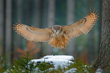 Poster de jardin Chouette Eagle owl landing on snowy tree stump in forest. Flying Eagle owl with open wings in habitat with trees, bird fly. Action winter scene from nature, wildlige. Owl, big wingspan. Autumn snow forest.