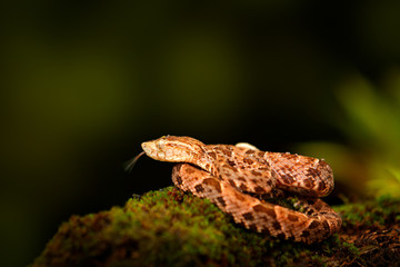 Poison snake Fer-de-lance in nature habitat. Common Lancehead, Bothrops atrox, in tropic forest. Poison animal in the dark jungle. Detail of rare snake Costa Rica. Coiled venomous snake, head high.