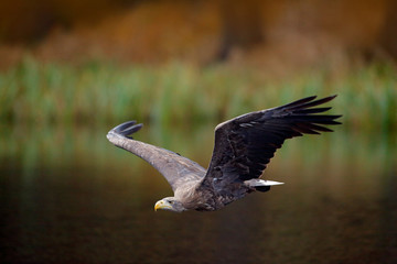 Wall Mural - White-tailed Eagle, Haliaeetus albicilla, flight above the water river, bird of prey with forest in background, animal in the nature habitat, wildlife, Norway. Eagle in fly above the dark lake.