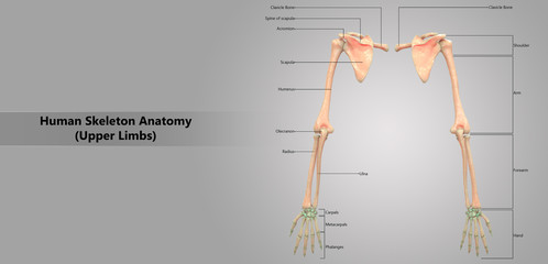 Human Skeleton System Upper Limbs with Detailed Labels Anatomy (Posterior View)