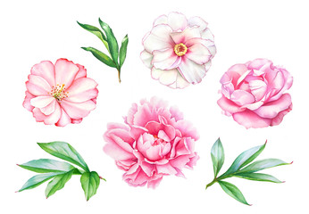 Watercolor realistic drawing of pink peony flowers with leaves isolated on white background.