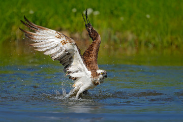 Fototapete - Flying osprey with fish. Action scene with bird, nature water habitat. Osprey with fish fly. Bird of prey with fish in the talon, hunting in the water, swimming in lake, Finland. Osprey catch fish.