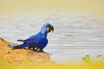 Hyacinth Macaw, Anodorhynchus hyacinthinus, blue parrot. Portrait big blue parrot, Pantanal, Brazil, river water drinking. Rare bird in the nature habitat. Wildlife Brazil, macaw in wild nature.