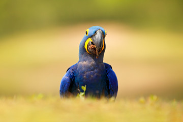 Portrait big blue parrot, Pantanal, Brazil, South America. Beautiful rare bird in the nature habitat. Wildlife Brazil, macaw in wild nature. Hyacinth Macaw, Anodorhynchus hyacinthinus, blue parrot.
