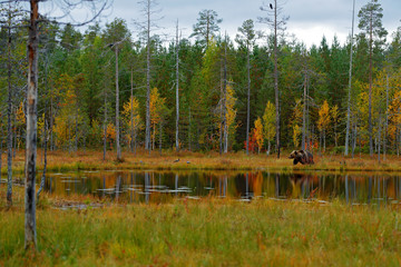 Beautiful brown bear walking around lake with fall colours. Dangerous animal in nature wood, meadow habitat. Wildlife habitat from Finland. Bear hidden in yellow forest. Autumn trees with bear.
