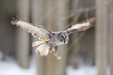 Bird flying. Great Grey Owl, Strix nebulosa, flight in the forest, blurred trees in background. Wildlife animal scene from nature. Owl fly in the the cold winter. Snow in forest. Owl flight.