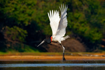 Flying white bird in tropic forest. Jabiru stork flight. Jabiru, Jabiru mycteria, black and white bird in the green water with flowers, open wings, wild animal in the nature habitat, Pantanal, Brazil.