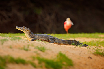 Caiman with ping bird, spoonbill. Yacare Caiman, crocodile on the beach with evening sun, Pantanal, Brazil, Widlife in South America.