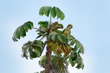 Green parrot, monk parakeet, Myiopsitta monachus, bird in the nature tree habitat, eating fruit, Pantanal, Brazil. Quaker parrot. Two birds on palm tree. Wildlife scene from South America.