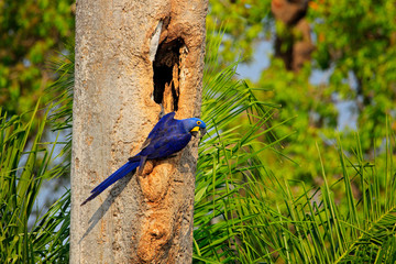 Blue parrot in green tropic forest. Big blue parrot Hyacinth Macaw, Anodorhynchus hyacinthinus, in tree nest cavity, Pantanal, Brazil, South America. Nesting behaviour. Tree hole nest.