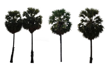 situate palm tree isolated on white background