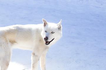 Blue eyed white husky