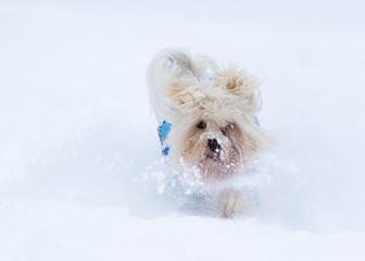 Havanese dog in snow