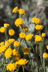 Santolina, (Santolina chamaecyparissus)