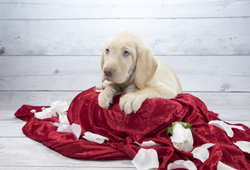Labrador Retriever with flowers and red blanket