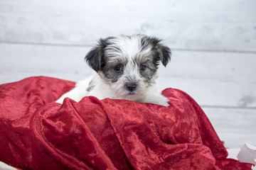 Morkie with flowers and red blanket