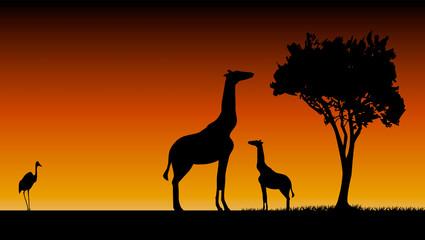 girafes le soir