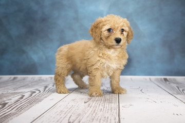 Goldendoodle with cloudy dark blue and white wood background