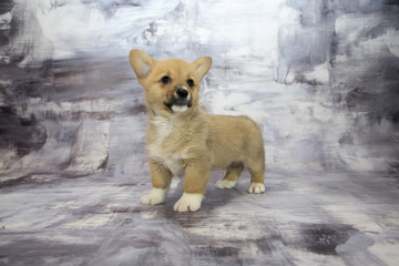 Corgi with gray marbled background