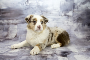 Australian Shepherd with gray marbled background