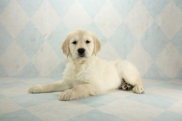 Golden Retriever on cream and blue diamond background