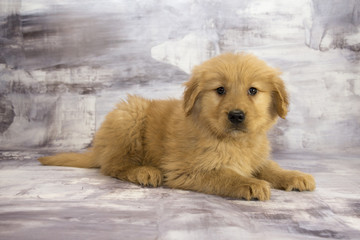 Golden Retriever with gray marbled background