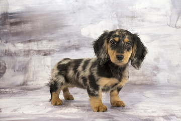 Miniature Dachshund with gray marbled background