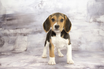 Beagle with gray marbled background