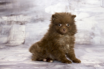 Pomeranian with gray marbled background