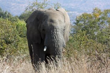 Elepant in bush, South Africa