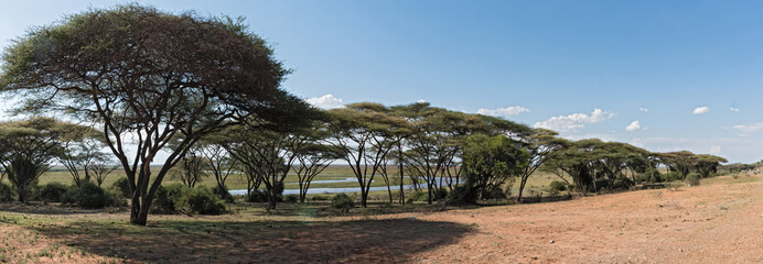 Acacia forest on the bank of the Chobe River in Botswana