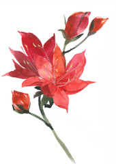 Elegant red lilies. Bright attractive flowers. Watercolor drawing of a lily.