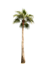 Coconut tree on white background, Isolated