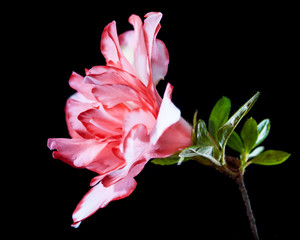 Photograph of a pink flower called Azalia