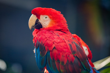 Red Blue Scarlet Macaw