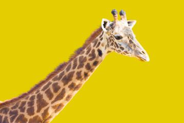 Giraffe On Yellow Background