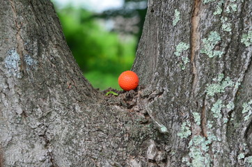 A golf ball stuck in a tree