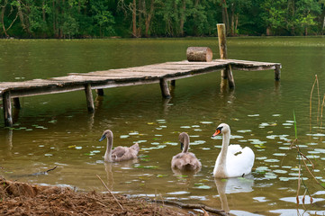 swans came on shore, the swans on the lake with a bridge