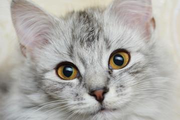 Looking in camera cat
