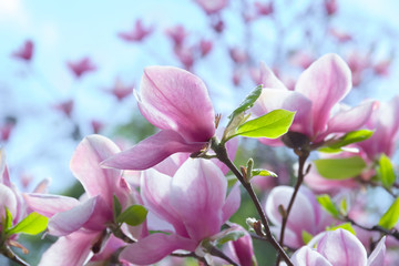 pale pink magnolia flower on a branch against the sky