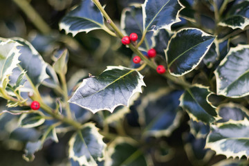 Holly Tree Berry Christmas Holidays