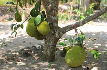 Breadfruit in Thailand