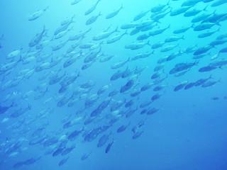 School of fish swimming underwater, Kas, Antalya, Turkey