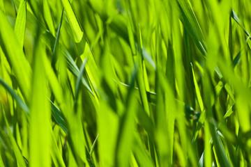 Grass blades, Summer