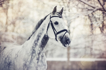 Portrait of a gray sports horse