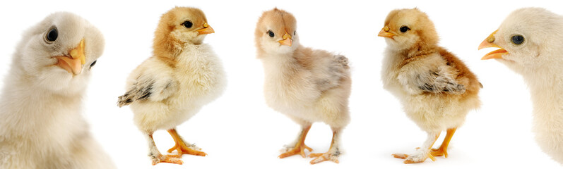 Collection cute furry chicks isolated on white