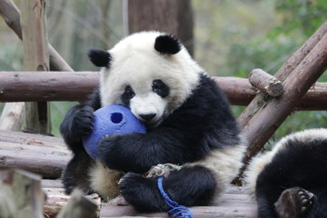 Little Panda Cub is Playing with A Blue Ball, Chengdu, China